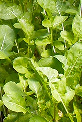 arugula growing